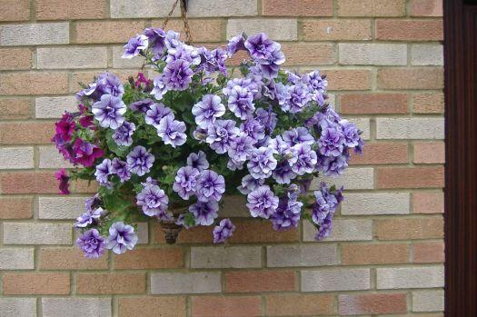 Garden - Sarah's Hanging Basket - Back Garden - Front View