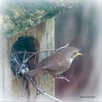HOUSE WREN SINGING FOR A PARTNER