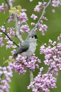 Gray and White Bird in Flowered Tree
