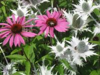 Cone flowers and sea holly