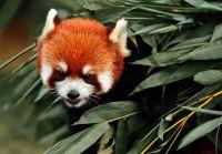 cute-red-panda