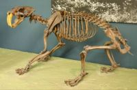 THEME:  Prehistoric Animals - Smilodon skeleton