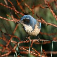 California Scrub Jay, North Shore 3, San Diego, California