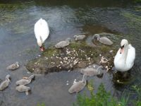 family of swans at moores valley coutry park dorset uk
