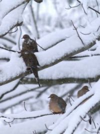 Mournings doves weathering the winter storm