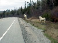 two white Moose