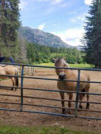THEME: Horses--Stehekin, Lake Chelan, WA, Norwegian Fjord horses
