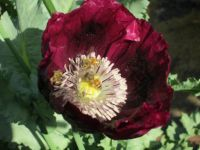 3 blissful bees in Lauren's Grape Poppy