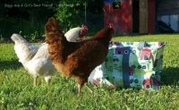 chickens..looking in bag..