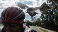 Magpies Attack Cyclists