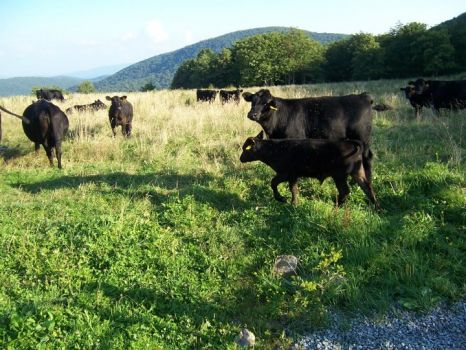 cattle at Mt. Rogers, VA
