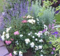 Garden  Nepeta, Artemsia, and rose
