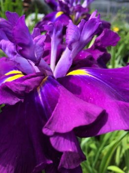 saturated with iris