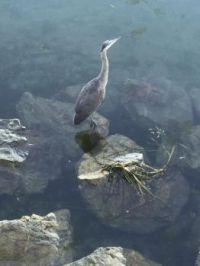 Heron in Oak Bay