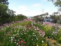 Everlastings at Kings Park, Western Australia