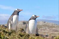 A Pair of Gentoo Penguins