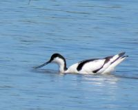 pied avocet, with tasty morsel