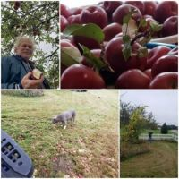 Picking apples just ahead of the freeze