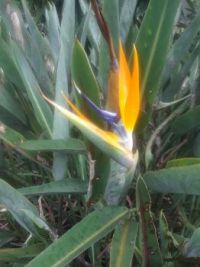 THEME: Hobbies - working in my yard  My Bird of Paradise is bloomingn (ask if you want a larger size)