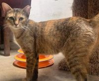 adopt Fawn from Cat NAPS of Pottstown