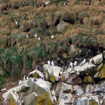 Puffins and Murres at Witless Bay Ecological Reserve, NL, Canada