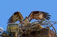 An osprey takes off from her nest. Un balbuzard s'envole de son nid.