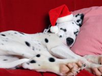 Dalmatian Christmas