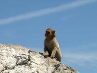 Gibraltars Barbary Macaque