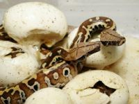 Hatching babies