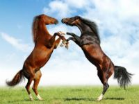 Horses doing a dance for Sue!!