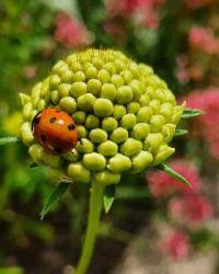 Seven-point Ladybug