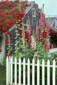 Cottage with beautiful hollyhocks!