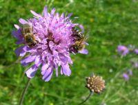 chrastavec rolní a včelky