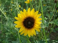 Ks wild sunflower