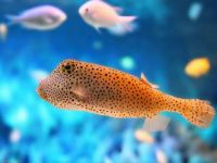 Yellow-fish-with-black-spots-