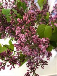 Syrener - Lilac