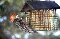 Red Belly Woodpecker 6