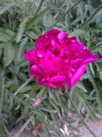Another peonie that opened today
