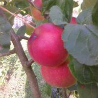 Summer apples from Max's garden