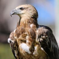 Juvenile White-Bellied Sea Eagle.jpg