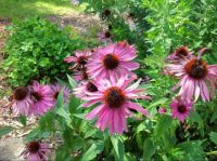 Pink Echinacea in the butterfly garden