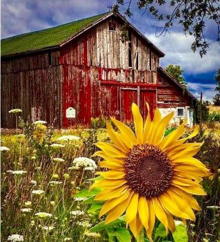Sunflower explosion with Barn
