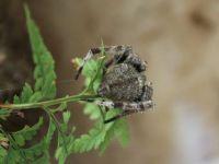 185_7907  a calmer Wolf Spider, Lycosa godeffroyi, Lycosidae, hiding
