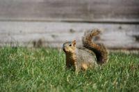 Squirrel on Notre Dame Campus