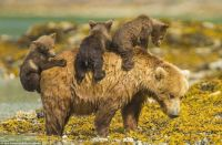 Young grizzlies hitch a lift across water on their mother's back #3