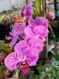 ORCHID-1011
