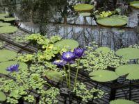 Water Lilies - Kew Garden