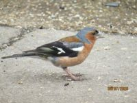 Male Chaffinch feeding furiously