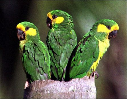 Yellow-eared parrots