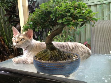 Cooler Under the Bonsai